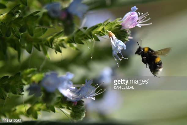 A bee hovers next to flowers in St James's Park in central London on May 21 2020 Hot balmy weather across much of Britain have tested the nation's...
