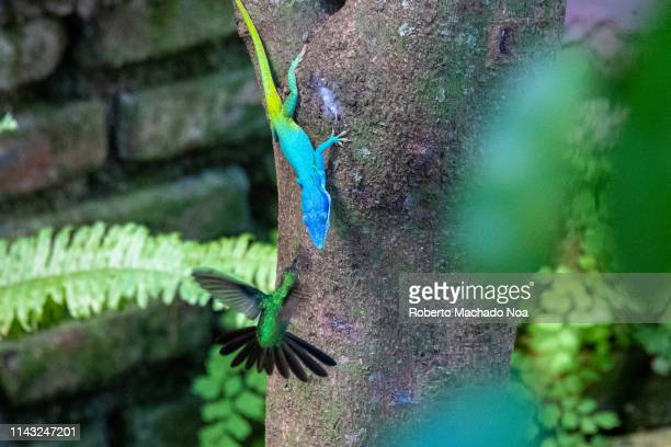 bee hummingbird attacking a cuban anole chameleon - anole lizard stock pictures, royalty-free photos & images