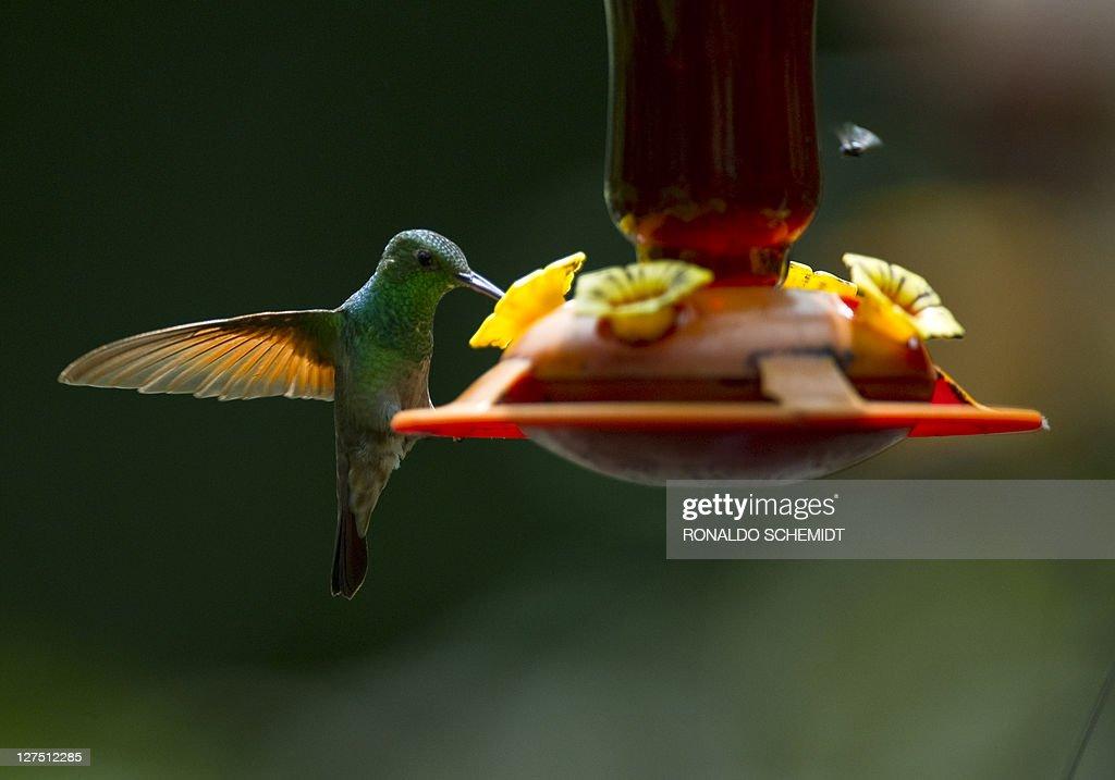 A Bee hummingbird (Mellisuga helenae) su : News Photo