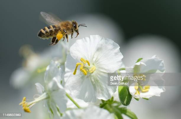 A bee in flight approaches a flower on May 17 2019 in Berlin Germany May 20 is World Bee Day which is drawing more attention this year in comparison...