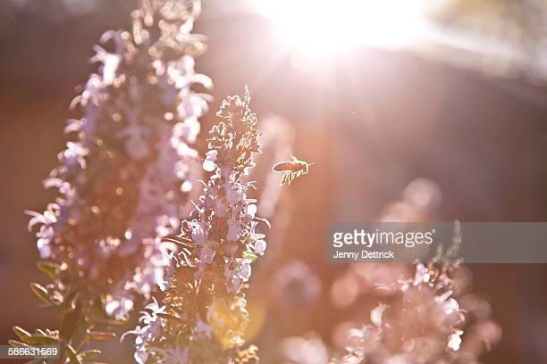 Bee in flight at sunset