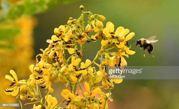 Bee in Flight collecting pollen