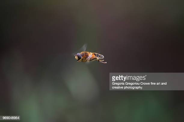bee in flight (hovering) - gregoria gregoriou crowe fine art and creative photography stock photos and pictures