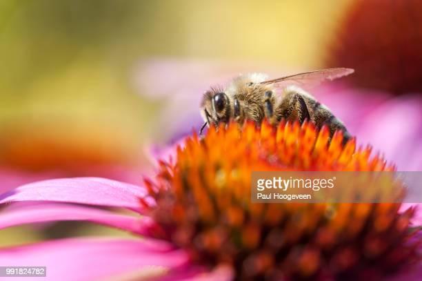 bee in garden - hoogeveen stock pictures, royalty-free photos & images