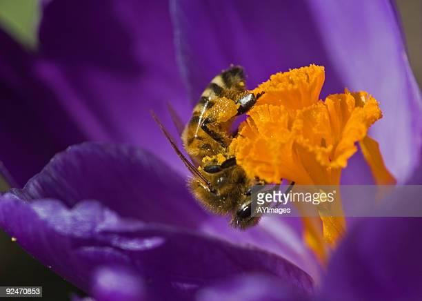 Abeille en purple crocus