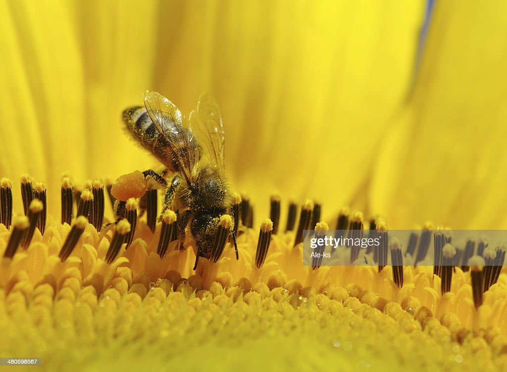 bee in the sunflower : Stock Photo