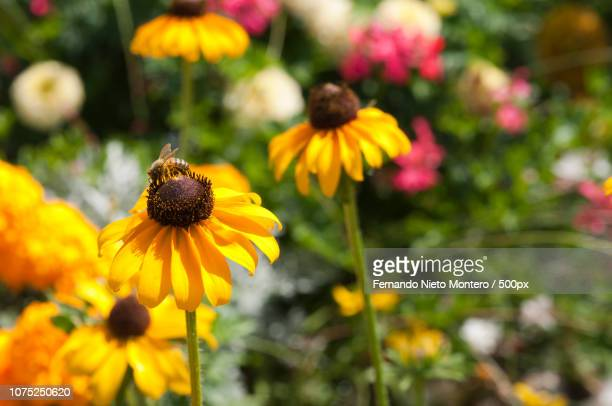 bee in wildflowers collecting pollen - montero flor fotografías e imágenes de stock