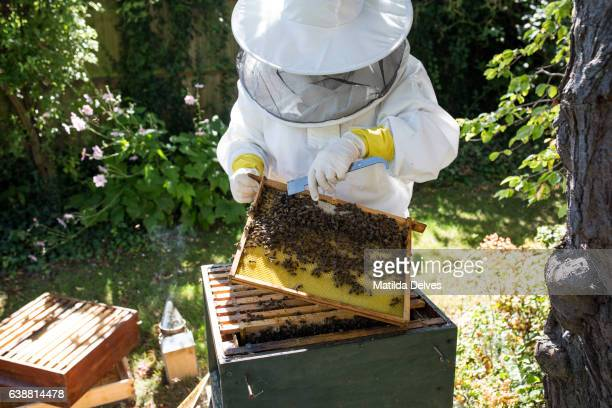 Bee Keeper inspects bee hive