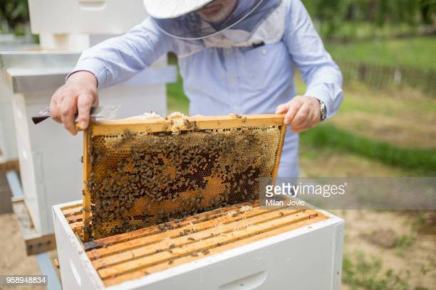 bee keeper lifting shelf out of hive - beehive stock pictures, royalty-free photos & images