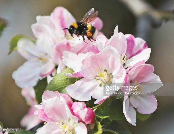 Bee laden with pollen on one of 5,000 apple trees at Ardress House in County Armagh that have come into early bloom following a mild winter as nature...