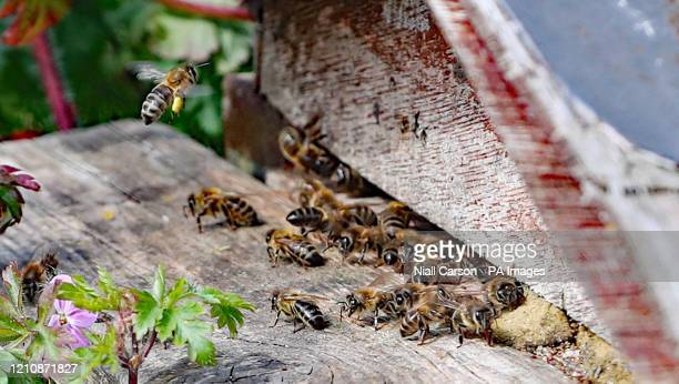 Bee laden with pollen returns too a hive near the 5,000 apple trees at Ardress House in County Armagh have come into early bloom following a mild...
