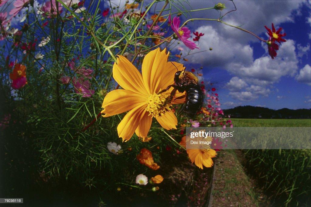 Bee landing on yellow cosmos flower : Stock Photo