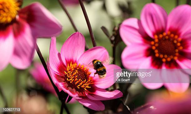 A bee lands on a flower during the press preview day of the Hampton Court Palace Flower Show on July 5 2010 in London England The 21st Hampton Court...