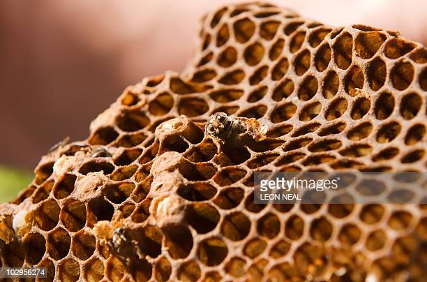 Bee larvae emerge from honeycomb at a hive in west London on September 6 2009 In tiny urban gardens Britons are doing their bit to counter the...