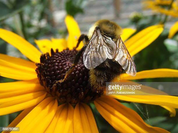 Bee on a black-eyed Susan flower.