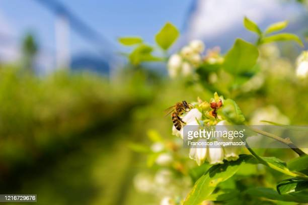 bee on a blueberry plant in bloom in an orchard. - honey bee stock pictures, royalty-free photos & images