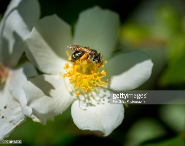 bee on a cream white flower - tim grist stock pictures, royalty-free photos & images