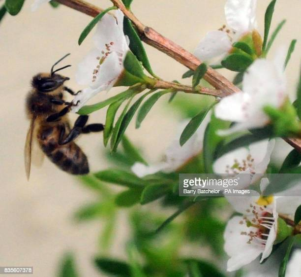 A bee on a Manuka bush at the Tregothnan estate in Cornwall where they are producing the UK's first Manuka Honey which is being sold for pound55 a jar