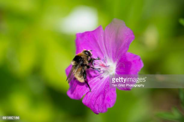 bee on a pink flower - honey bee stock pictures, royalty-free photos & images