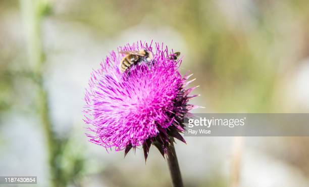 bee on a purple flower in grand teton national park - national landmark stock pictures, royalty-free photos & images