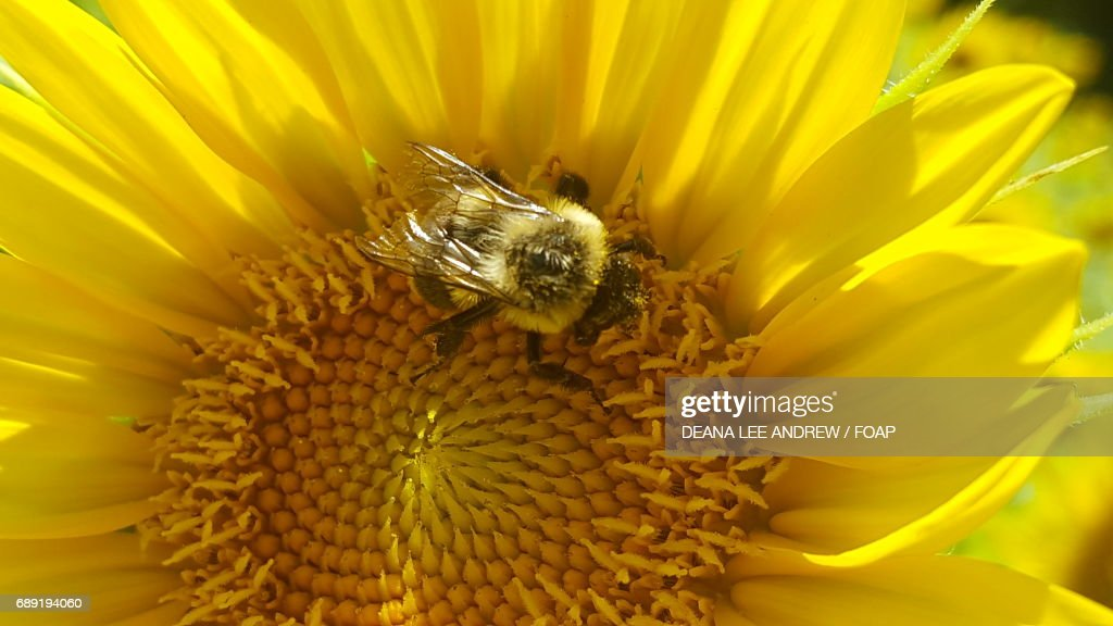 Bee on a sunflower : Stock Photo