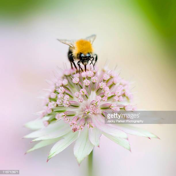 Bee on Astrantia flower