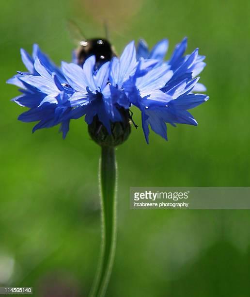 Bee on blue corn flower