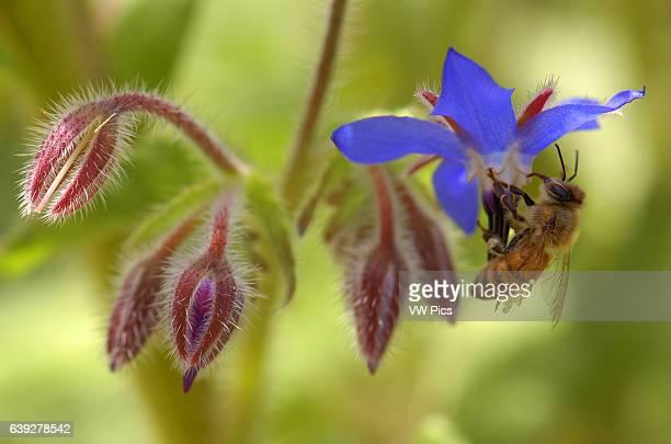 Bee on Borage Western Honey Bee Southern California