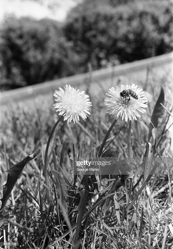 Bee on dandelion : Stock Photo