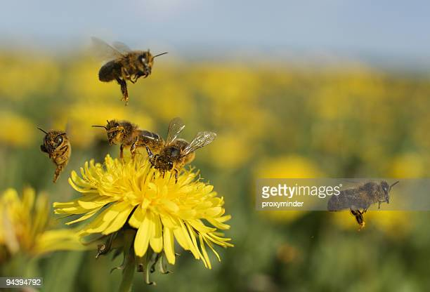 bee on dandelion - bee stock pictures, royalty-free photos & images