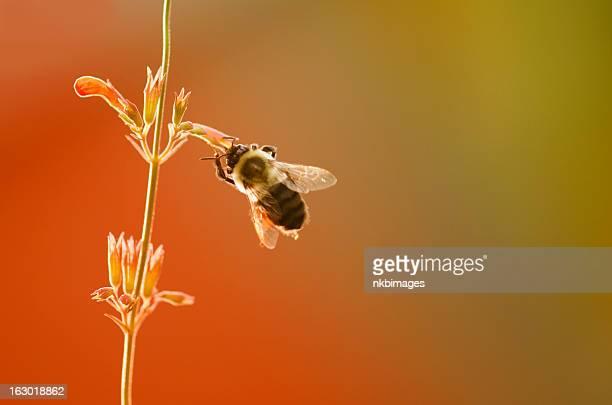 Biene auf Blume im Sonnenuntergang