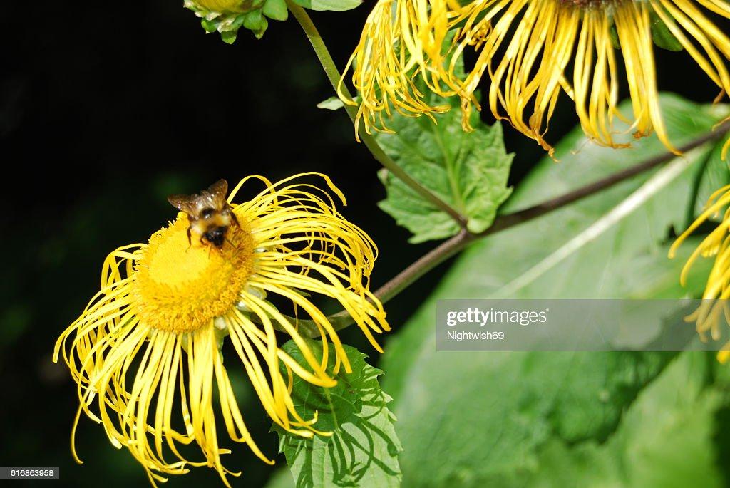 Bee on flower : Stock Photo