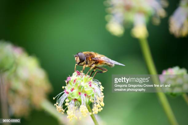 bee on flower - gregoria gregoriou crowe fine art and creative photography stock photos and pictures