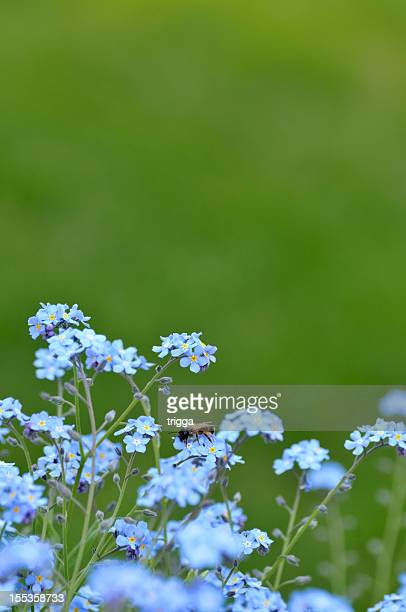 Bee on forget-me-not flowers
