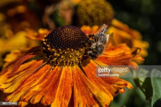 Bee on helenium