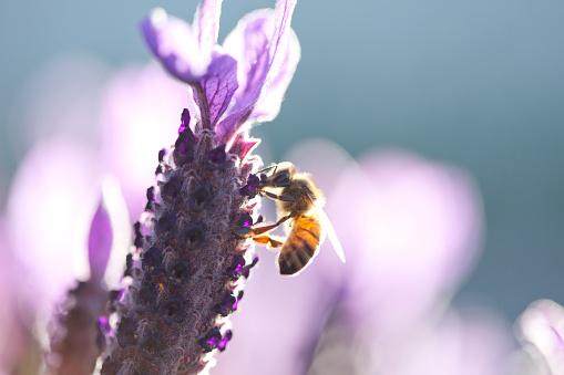 Bee on lavender flower - gettyimageskorea