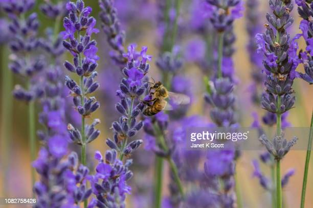 bee on lavender - janet scott stock pictures, royalty-free photos & images