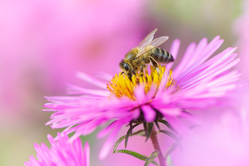 Bee on Michaelmas daisy. Beauty pastel natural background. 1137886927