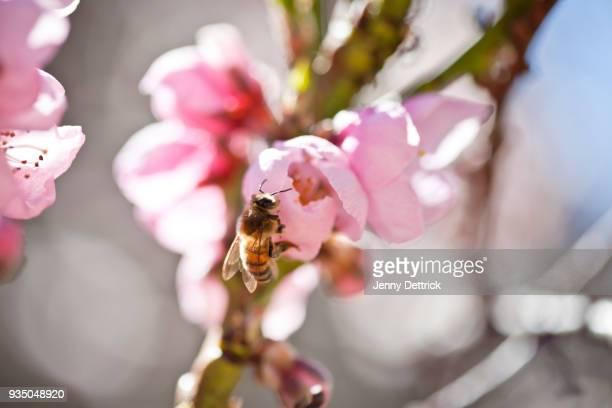 bee on nectarine flowers - fruitboom stockfoto's en -beelden