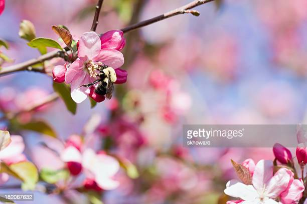 bee on pink crab apple blossom - crab apple tree stock pictures, royalty-free photos & images