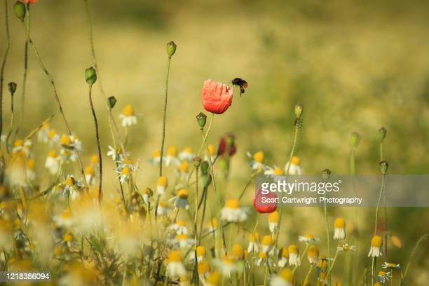 bee on poppy - meadow stock pictures, royalty-free photos & images