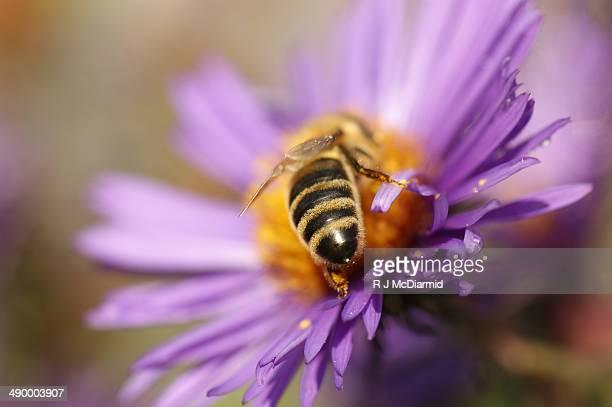 Bee on purple aster