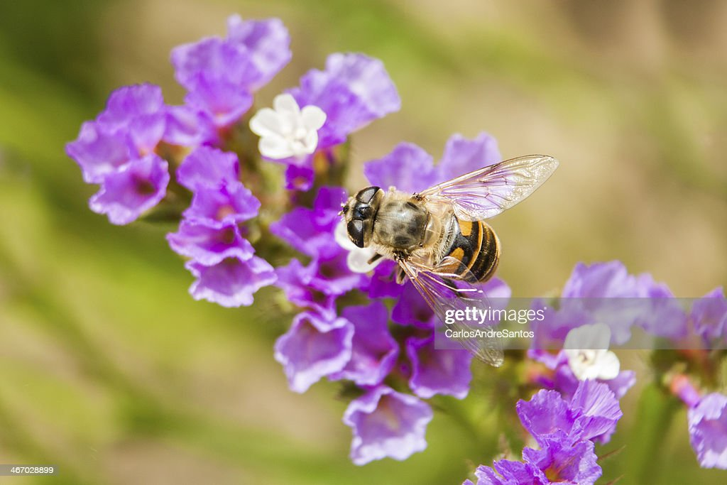 Bee On Purple Blue Violet Statice Flower Background Stock Photo