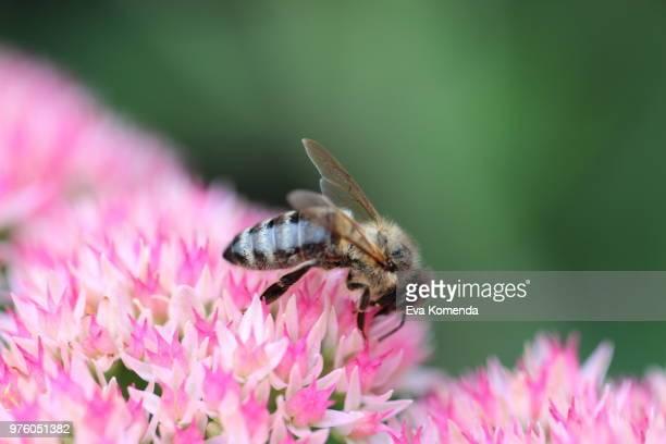 Bee On Sedum Spectabile