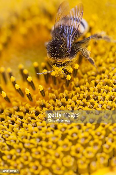 Bee on sunflower, close up