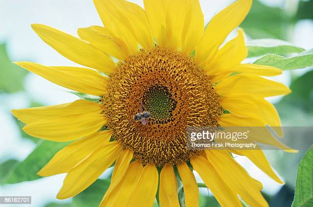 bee on sunflower -  firak stock pictures, royalty-free photos & images