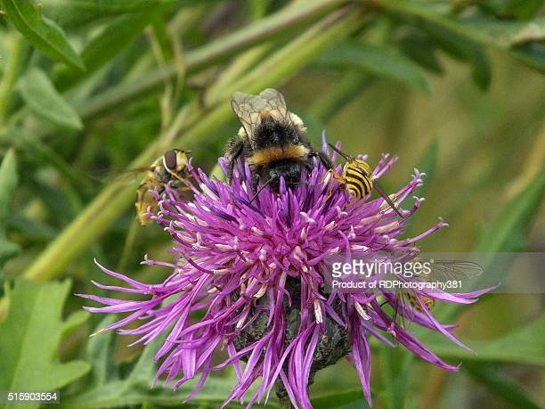 Bee on the Thistle