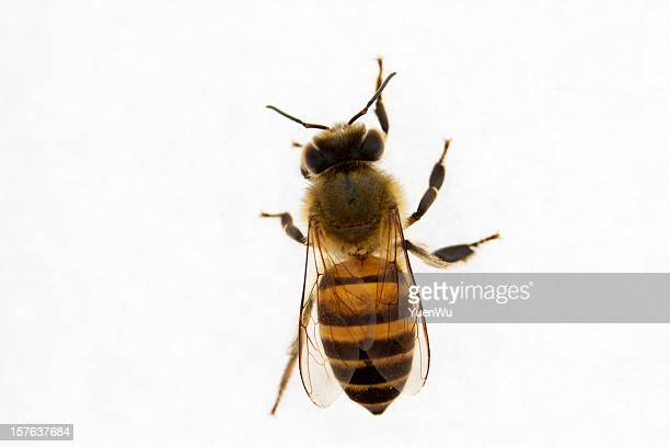 bee on white background - beehive stock pictures, royalty-free photos & images