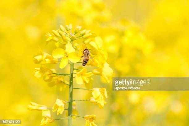 bee on yellow flowers - canola oil stock pictures, royalty-free photos & images