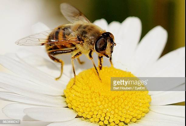Bee On Yellow Pollen Of White Daisy Flower